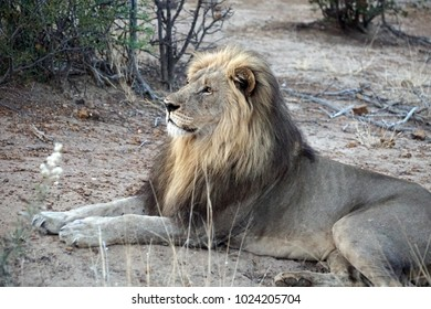 Male lion lying down in Pilanesberg National Park, South Africa