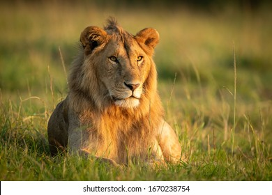 Male lion lying in grass with catchlight