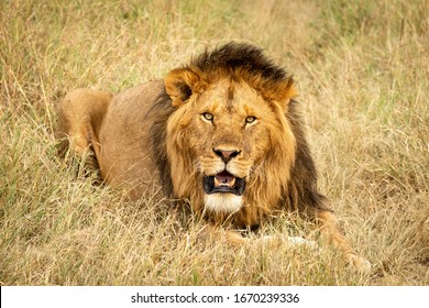 Male lion lying in grass eyeing camera