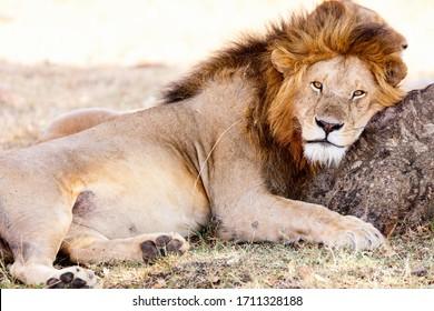 Männlicher Löwe im Gras liegt in der Savanne in Afrika