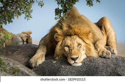 Male lion lying on a big rock under the tree with female lioness sleeping in the background in Tanzania