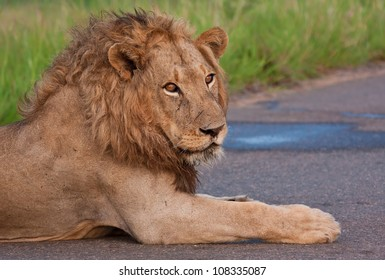 Male lion lying in a road in a national park