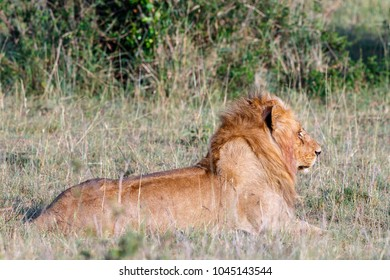 Male lion lying and watching