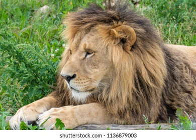 A male lion with magnificent mane is lying on a green meadow.