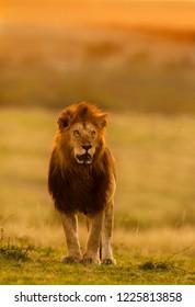 male lion at Masai Mara , kenya