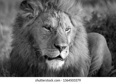 Male lion in the Masai Mara national park