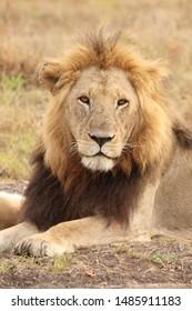 Male lion, Masai Mara National Park, Kenya.