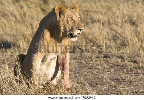 Male Lion, Masai Mara, Republic of Kenya, Eastern Africa