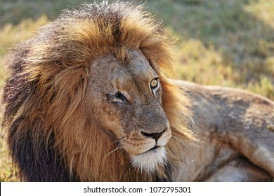 Male lion missing one eye