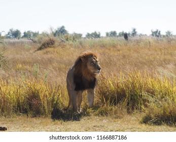 Male Lion, Moremi, Botswana