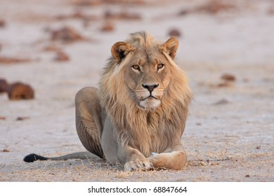 Male Lion, Nxai Pan National Park, Botswana