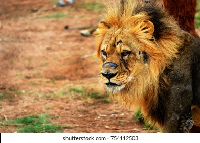 A male lion with old scars