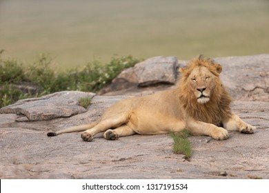 Male Lion on Kojpe in Serengeti Grasslands of Tanzania