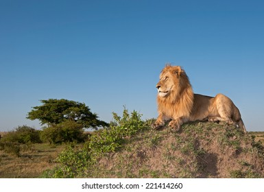 Male lion on top of termite mound