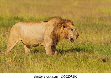 Male lion panthera leo with injured eye scars and mane. Weary, worn out breathless. Amboseli National Park, Kenya, East Africa. Bad day at the office