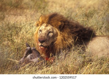 Male Lion (Panthera leo) with prey (a Warthog, Phacochoerus africanus) in Serengeti National Park, Tanzania.
