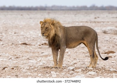 Male lion (Panthera leo) standing in the desert
