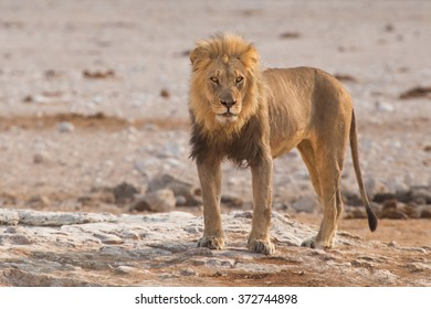 Male lion (Panthera leo) standing on a rock