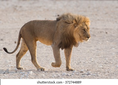Male lion (Panthera leo) walking