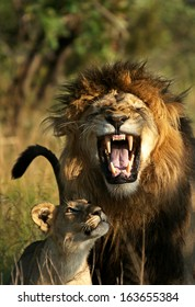 A Male Lion performing what is called the Flehmen Grimace, processing the smell of a female cub that approached. / Lion Smile /