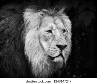 Male lion portrait black and white close-up