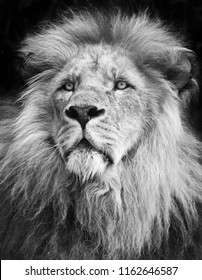 Male lion portrait in black/white on black background