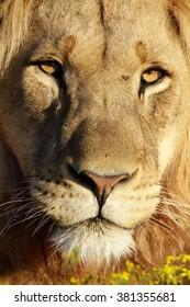 A male lion portrait. South Africa