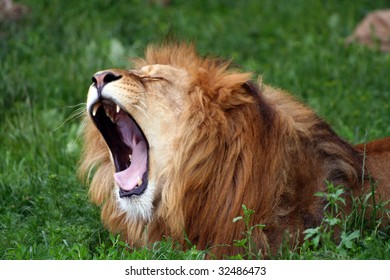 Male lion relaxing on the grass