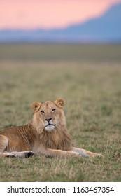A male lion resting in a savannah of Masai Mara Game Reserve, Kenya