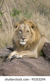 A male lion rests after a big meal in the Masai Mara.