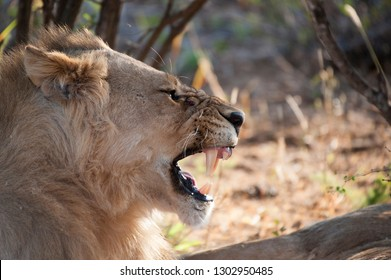 A male lion roaring with his mouth wide open in Kruger National Park, South Africa