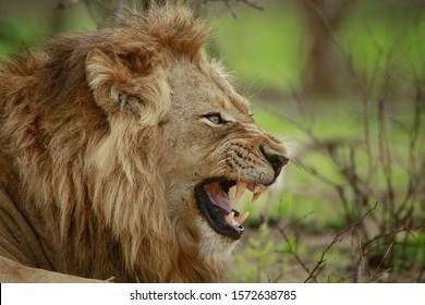 Male lion roaring in Kruger National park