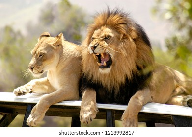 Male lion roars at his mate to get away.