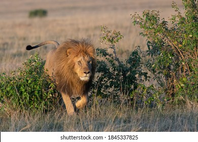 A male lion rushes through the brush in attack mode.