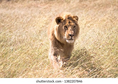 male lion in the savanna
