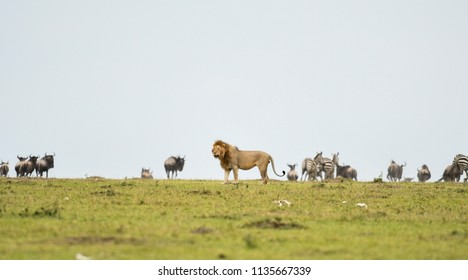 Male lion in a savannah with wildebeest and zebra herd in Masai Mara Game Reserve, Kenya