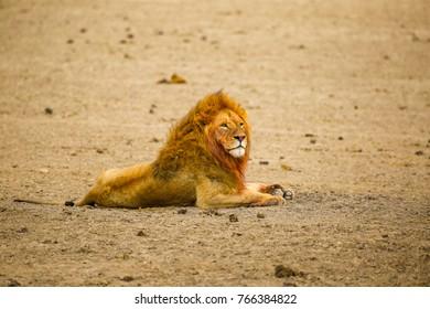 a male lion in Serengeti National Park, Tanzania