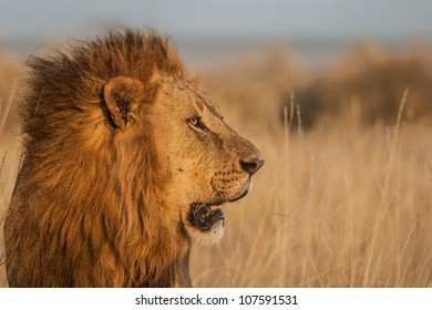 1000+ Side View Lion Face Stock Images, Photos & Vectors ...