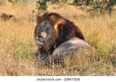 Male Lion sitting down in the savannah