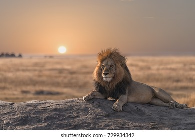A male  lion is sitting on the rock , looking for his area  during the sunrise.