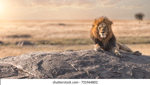A male lion is sitting on the rock,staring around for all his land .