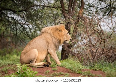 Male lion sitting in woods in profile
