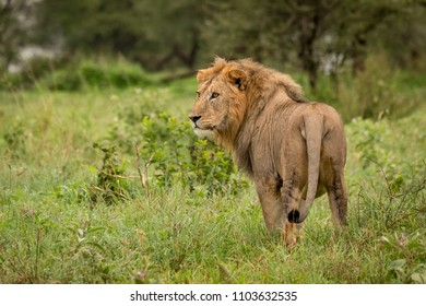 Male lion stands in clearing turning head