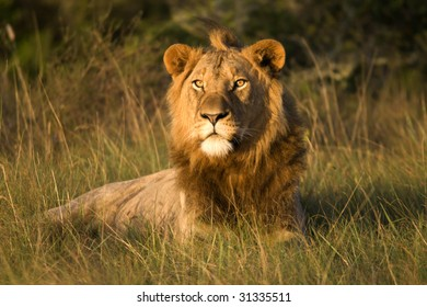 Male lion staring into the sunrise.