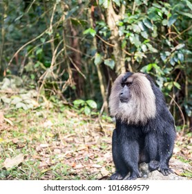 Male lion tailed macaque - Macaca silenus  - Seen in the forest of Western Ghat Mountainsin Tamil Nadu state, India. One of the rarest species of macaque and endanger in India.