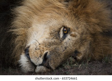 Male lion with thick mane portrait