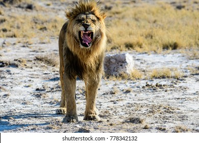 male lion trying to be fierce