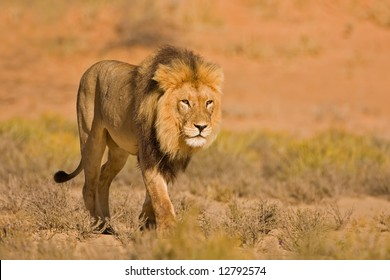 Male lion walking in dry riverbed; Panthera leo; Kalahari desert; South Africa