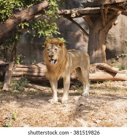 Male Lion walking and looking on the floor