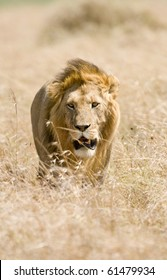 Male lion walking through golden grass Masai mara